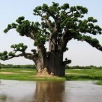 All about the baobab